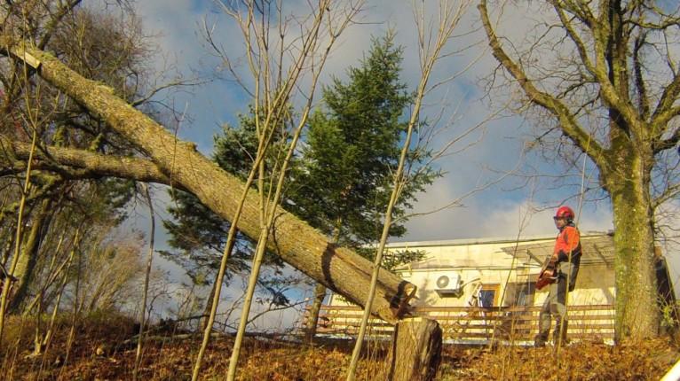 Arborist ohtlikku puud langetamas